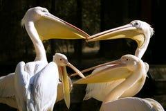 Groep pelikanen met open bekken die een verwarmd gesprek hebben royalty-vrije stock foto