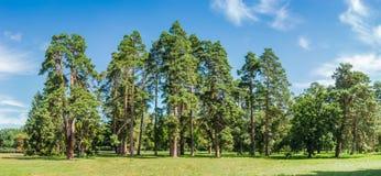 Groep pijnbomen onder een grote open plek in het park Stock Fotografie