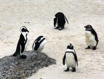 Groep pinguïnen stock foto's