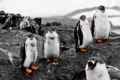 Groep pinguïnkuikens stock foto's