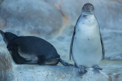Groep pinguins de Dierentuin in van Rusland, Moskou Stock Foto
