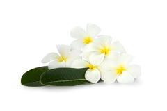 Groep Plumeria-bloem over groene bladeren op witte achtergrond Royalty-vrije Stock Afbeelding