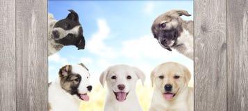 Groep puppy het kijken Royalty-vrije Stock Foto's