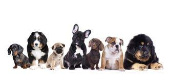 Groep puppy op een witte achtergrond Royalty-vrije Stock Foto