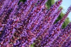 Groep purpere salviabloemen Royalty-vrije Stock Afbeeldingen