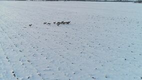 Groep reeën op de wintergebieden stock videobeelden