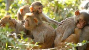 Groep resusaap macaques op rotsen Familie die van bont mooie macaques zich op rotsen in aard en het slapen verzamelen stock videobeelden