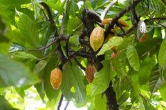 Groep rijpe en ruwe cacaobonen, Theobroma-cacao op een boom in eiland Bali, Indonesië stock afbeeldingen