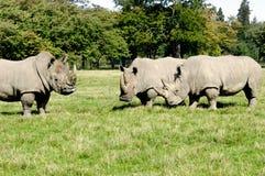 Groep rinoceros Stock Foto's