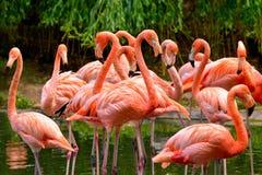 Groep rode flamingo's stock foto
