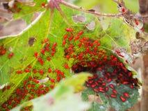 Groep rode insecten Stock Afbeelding