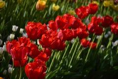 Groep rode tulpen in het park Royalty-vrije Stock Foto