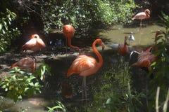 Groep roze flamingo's bij het wilde dierlijke park van Jacksonville Stock Foto's