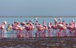 Groep roze flamingo's in de blauwe lagune op een zonnige dag royalty-vrije stock foto
