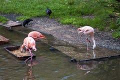 Groep roze flamingo's in dierentuin Stock Afbeeldingen