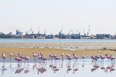 Groep roze flamingo's op het overzees bij Walvis-Baai stock afbeelding