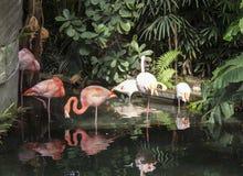 Groep roze flamingo's in Parc Phoenix in Nice, Frankrijk stock foto