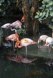 Groep roze flamingo's in Parc Phoenix in Nice, Frankrijk stock foto's