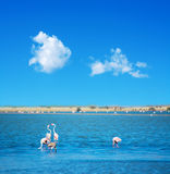 Groep roze flamingo's in Sardinige stock fotografie
