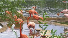 Groep Roze Flamingo's in Water stock footage