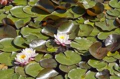 Groep roze waterlelies Royalty-vrije Stock Foto's