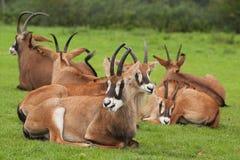 Groep sabelmarterantilope Royalty-vrije Stock Afbeelding