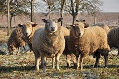 Groep schapen Royalty-vrije Stock Afbeeldingen