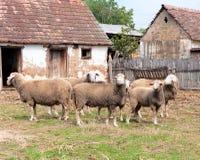 Groep schapen Stock Foto