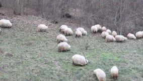 Groep schapen aan weiland Royalty-vrije Stock Foto
