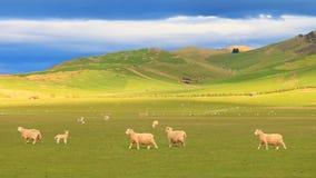 Groep schapen bij rollende heuvels, Nieuw Zeeland Royalty-vrije Stock Foto