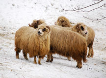 Groep sheeps Stock Foto