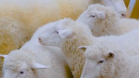 Groep sheeps stock footage