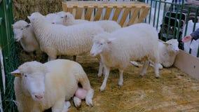 Groep sheeps stock video