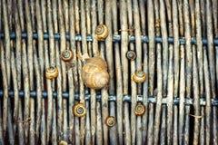 Groep slakken met een moederslak in het centrum op oude dark Royalty-vrije Stock Foto
