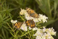 Groep spangled fritillary vlinders op de bloem van de bergmunt royalty-vrije stock foto