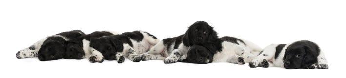 Groep Stabyhoun-en puppy die liggen rusten Stock Fotografie