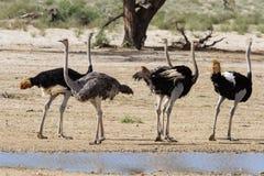 Groep struisvogels bij een waterhole in de droge woestijn Royalty-vrije Stock Afbeeldingen