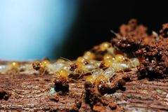 Groep termieten Royalty-vrije Stock Afbeelding