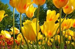 Groep tulpenbloemen Stock Afbeeldingen