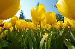 Groep tulpenbloemen Stock Foto's
