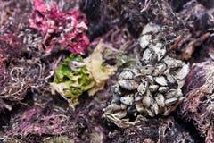 Groep tweekleppige schelpdieren tegen het kleurrijke zeewier. Royalty-vrije Stock Fotografie