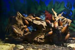 Groep van de het gesiskakkerlak van Madagascar portentosa van Gromphadorhina op stomp stock afbeelding
