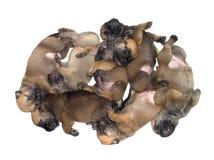 Groep van puppy van één maand de oude slaap op witte achtergrond Stock Afbeelding