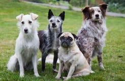 Groep van vier honden Stock Afbeelding