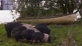Groep varkens die van de grond eten stock videobeelden