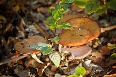 Groep vergiftpaddestoelen Stock Foto