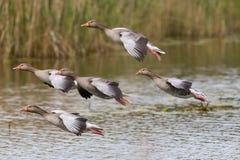 Groep verscheidene het landen grijze ganzen anser anser met riet en Stock Foto