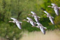 Groep verscheidene vliegende grijze ganzen anser anser met groene boom Stock Foto