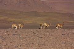 Groep vicuna in Bolivië royalty-vrije stock afbeeldingen