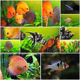Apistogramma stockfoto 39 s registreer gratis for Fish dream meaning pregnancy